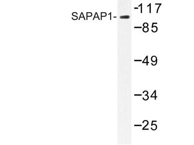 anti DLGAP1 / SAPAP1