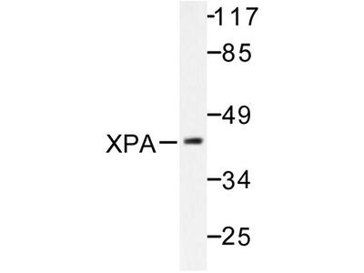 anti XPA / XPAC