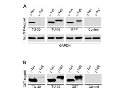 anti TUBG1 / Tubulin gamma 1