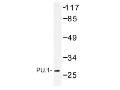 anti SPI1 / PU.1