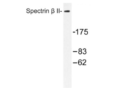 anti Spectrin beta II / SPTBN1