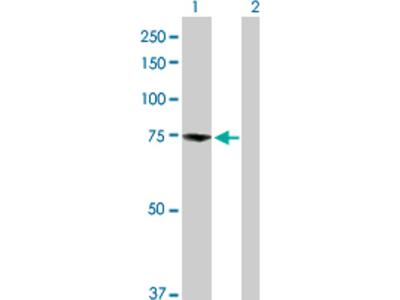 DREF Antibody