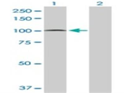 PCDHGA5 Antibody