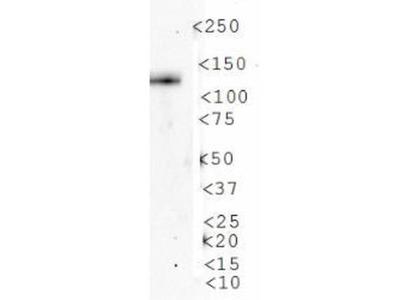 AMBRA1 Antibody