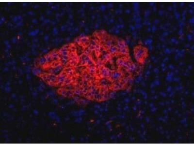 HPi1 Antibody (HIC0-4F9)