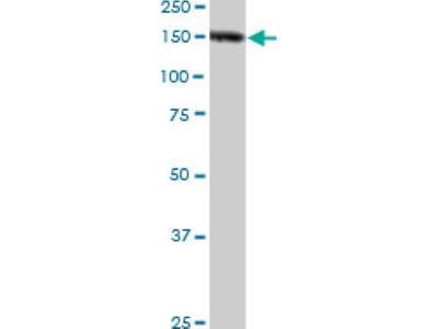 Nidogen-1 / Entactin Antibody