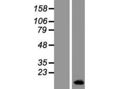BLCAP Overexpression Lysate