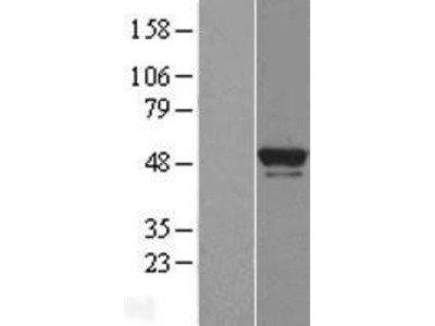 BRF2 Overexpression Lysate