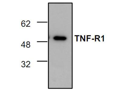 TNF-R1 Antibody