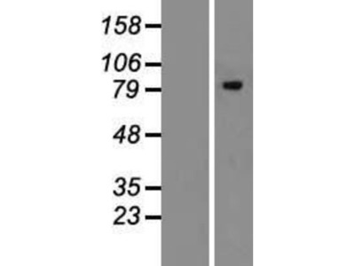 ERManI Overexpression Lysate