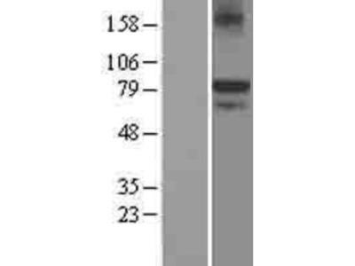 KAL1 Overexpression Lysate