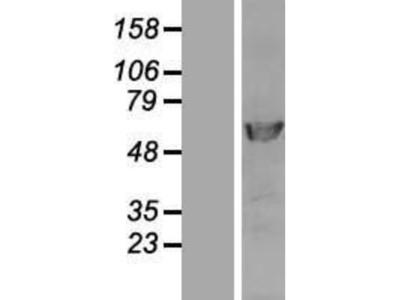 DNA polymerase delta p50 Overexpression Lysate