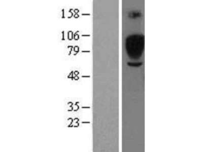 Siglec-5/CD170 Overexpression Lysate