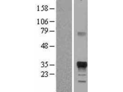 Marapsin/Pancreasin Overexpression Lysate