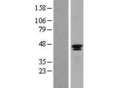 SAV1 Overexpression Lysate