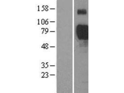 Siglec-7/CD328 Overexpression Lysate