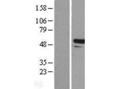 Tapasin Related Protein Lysate