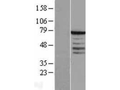 Synaptotagmin 3 Overexpression Lysate
