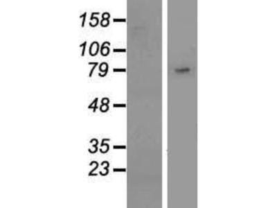 Siglec-10 Overexpression Lysate
