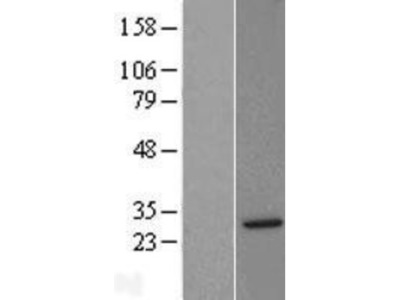 Syntaxin 8 Overexpression Lysate