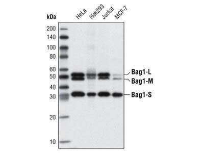 Bag1 (3.10G3E2) Mouse mAb