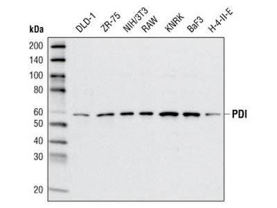 PDI (C81H6) Rabbit mAb
