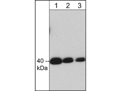 Crk II (C-terminal region) Antibody