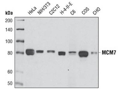 MCM7 (D10A11) XP ® Rabbit mAb
