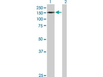 TIF1 alpha Antibody