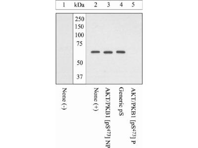 Phospho-AKT1 (Ser473) Polyclonal Antibody