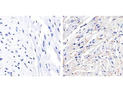 Phospho-Connexin 43 (Ser368) Polyclonal Antibody