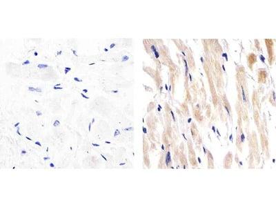 Perlecan Antibody