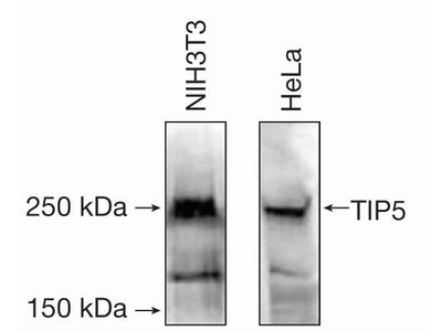 BAZ2A Polyclonal Antibody