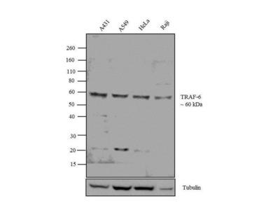 TRAF6 Polyclonal Antibody
