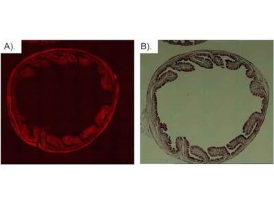 mCherry Monoclonal Antibody (16D7)