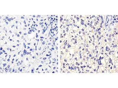 Connexin 40 Monoclonal Antibody (2F9A11)