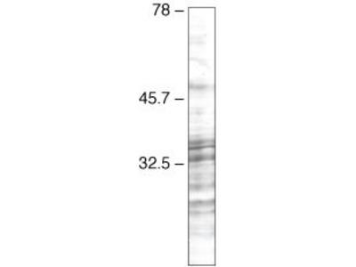 SRSF3 Monoclonal Antibody (1H4G7)