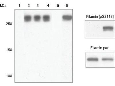 Phospho-Filamin 2 (Ser2113) Polyclonal Antibody