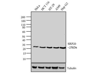 SRSF3 Monoclonal Antibody (7B4 (7B4A12))