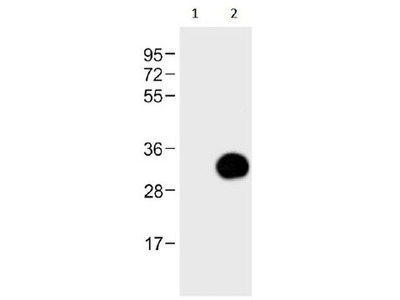 GFP Antibody for Immunoprecipitation