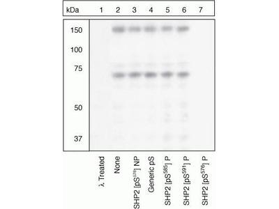 Phospho-SHP2 (Ser576) Antibody