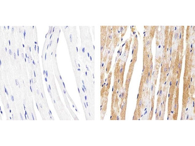 Connexin 37 Polyclonal Antibody
