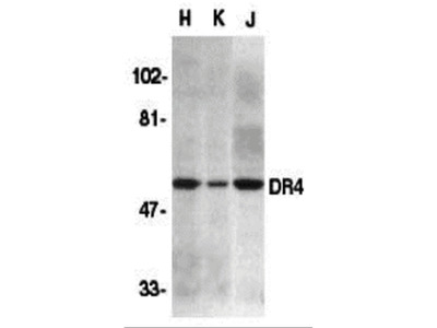 DR4 Antibody
