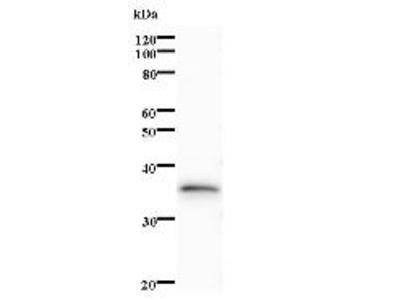 ZNF410 Monoclonal Antibody
