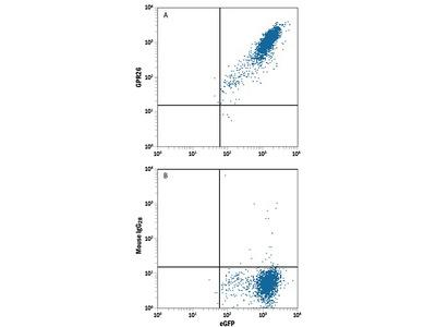 GPR26 Antibody
