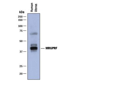 MRGPRF Antibody