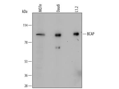 BCAP Antibody