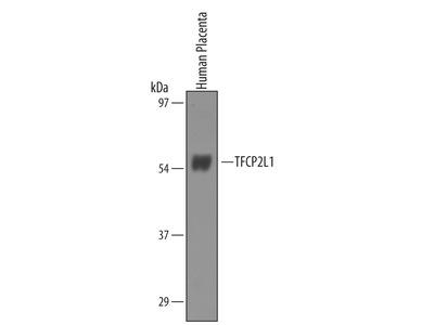TFCP2L1 Antibody