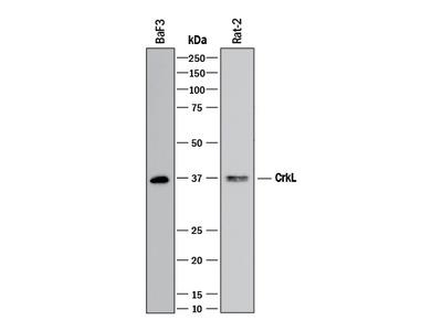 CrkL Antibody