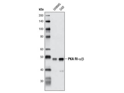 PKA RI-α/β Antibody